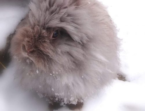 Wissenswertes zur Impfung beim Kaninchen: RHD und Myxomatose