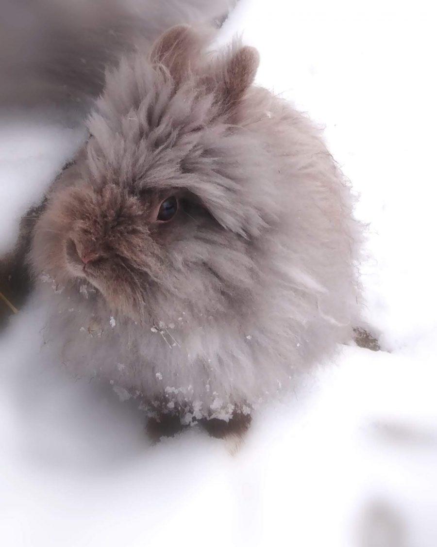 Zwergkaninchen im Schnee
