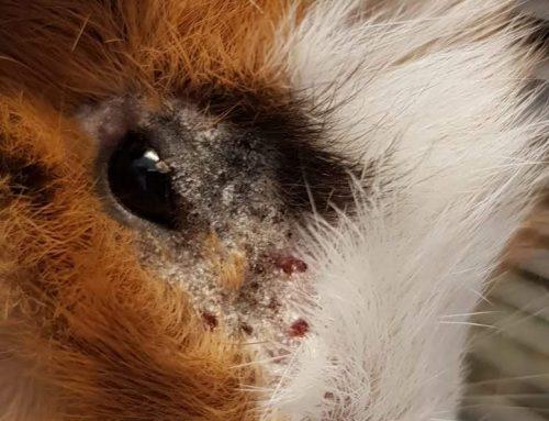 Warum sind die Meerschweinchen so unruhig, vertragen sich nicht und haben überall Verletzungen?
