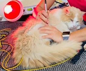 Schmerzen, chronisch, Katze, Tierarzt Pattenham, Truchtlaching, Chiemsee