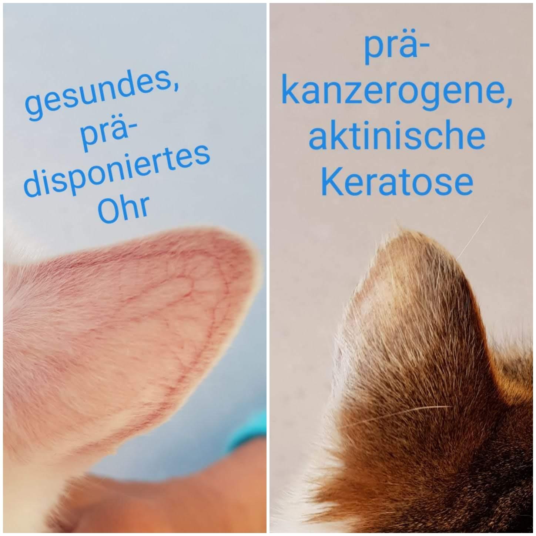 gesundes Ohr und prä-kanzerogene, aktinische Keratose Katze