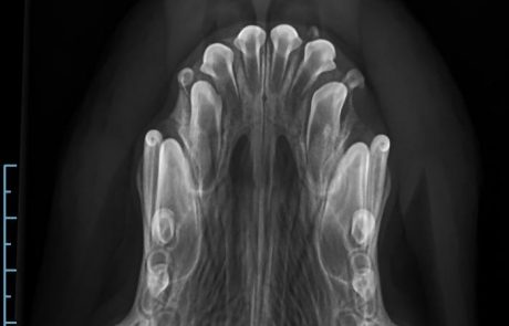 persistierende Milchcanini, Zahnwechsel, Hund, Röntgen