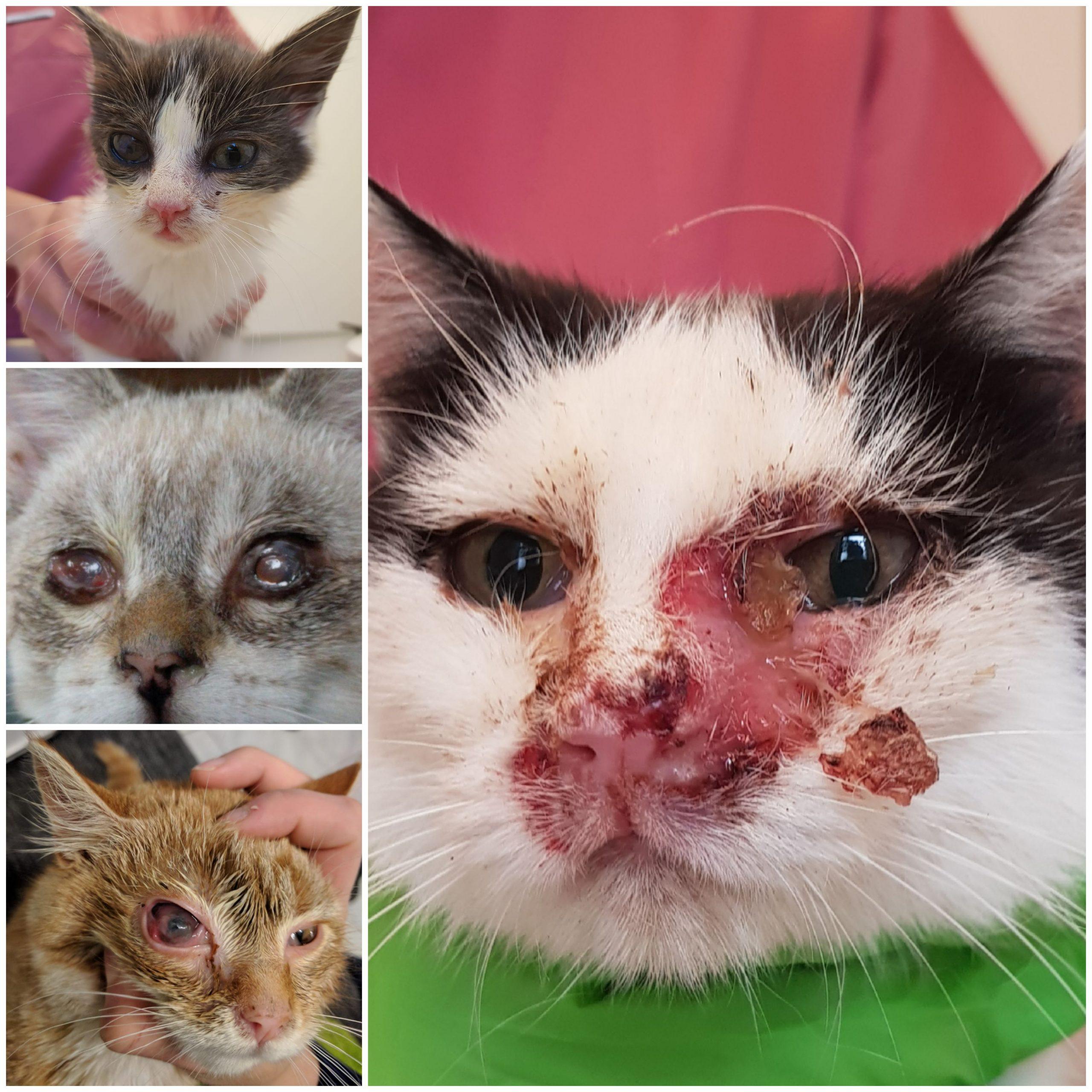 Katzenschnupfen, Kätzchen, Augenentzündung, Konjunktivitis