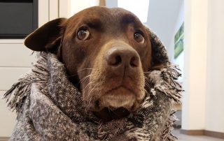 Zwingerhustenkomplex, Infektiöse Tracheobronchitis; oder CIRD: Canine Infectious Respiratory Disease