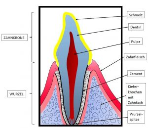 Zahnaufbau, Enamel infraction, Zahnschmelzrisse, Dental, Tierarzt Pattenham, En