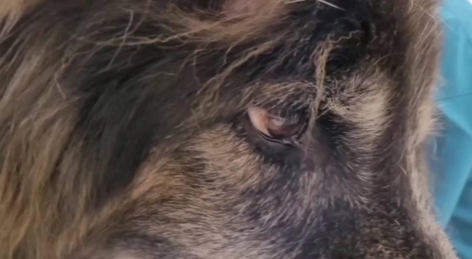 Geriatrisches Vestibularsyndrom beim Hund – wenn das Gleichgewichtsorgan plötzlich verrückt spielt